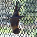 Pteropus dasymallus inopinatus by OpenCage.jpg
