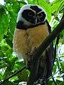 Pulsatrix perspicillata -Manizales, Caldas, Colombia-8 (1).jpg