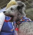Pumi puppy yawning (8109927395).jpg
