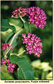 Purple-milkweed-2003-scan.jpg