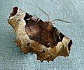 Purple Thorn - Flickr - gailhampshire.jpg
