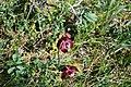 Purple pitcher plants – Gros Morne, NL – (2018-07-21).jpeg
