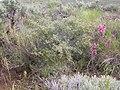 Purshia tridentata (4036546447).jpg