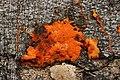 Pycnoporus cinnabarinus (44298258685).jpg