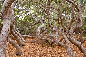 Dwarf forest - Pygmy Coast live oaks in Elfin Forest, California