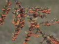 Pyracantha coccinea, - Scarlet firethorn, Adana 2017-12-10 01-1.jpg
