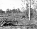 Queensland State Archives 2630 Land clearing Beerburrum December 1916.png