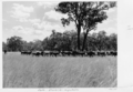 Queensland State Archives 5290 Cattle Charleville to Augathella January 1955.png