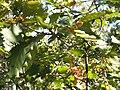 Quercus canariensis Bellotas 2010-10-27 DehesaBoyaldePuertollano.jpg