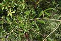 Quercus geminata (24143900625).jpg