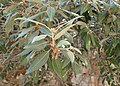 Quercus ilex kz08.jpg