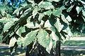 Quercus muehlenbergii 1480401.jpg