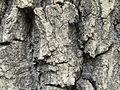 Quercus robur (6).JPG