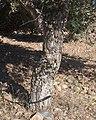 Quercus suber g2.jpg