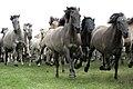 RGN Foto Wildpferde im Merfelder Bruch YU7X8853.jpg
