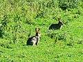 Rabbits, Hinton Parva combe - geograph.org.uk - 498142.jpg
