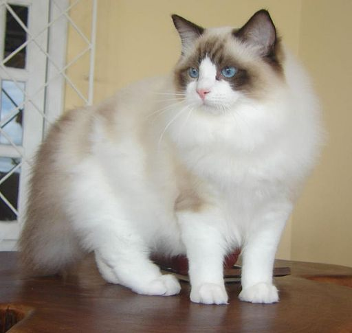 Ragdoll from Gatil Ragbelas
