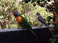 Rainbow lorikeet and Noisy miner.jpg