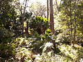 Rainforest at the start of the Kalianna Ridge Track, Budawang National Park 007.jpg