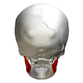 Ramus of the mandible - skull - posterior view.png