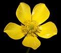 Ranunculus colonorum - Flickr - Kevin Thiele.jpg