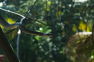 Ptyas mucosa - Image: Rat Snake