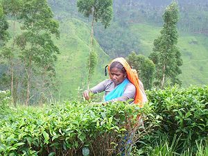 A Hill Country Tamil woman working on a tea plantation in upcountry Sri Lanka.