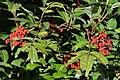 Red-berried Elder (Sambucus racemosa) - Oslo, Norway 2020-08-24 (01).jpg