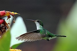 Red-billed streamertail (Trochilus polytmus) female in flight 2.JPG
