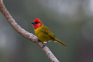 Red-headed tanager species of bird