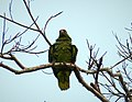 Red-lored Parrot Amazona autumnalis (27947031207).jpg