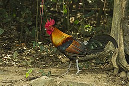 Male red junglefowl