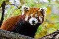 Red Panda (37661662555).jpg