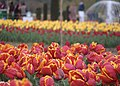 Red and Yellow Tulips with fountain in background.JPG