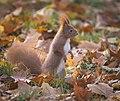 Red squirrel (22841275618).jpg