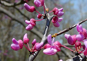 Cercis canadensis - Detail of buds