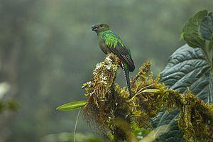 Resplendent quetzal - A female resplendent quetzal in cloud forest of Costa Rica