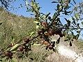 Rhamnus lycioides fruits.JPG