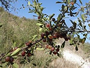 Rhamnus lycioides - Mediterranean buckthorn