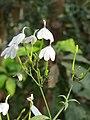Rhinacanthus nasutus at Peravoor 01.jpg
