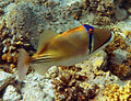 Rhinecanthus assasi - Rotmeer-Picassodrueckerfisch 0973a.jpg