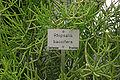 Rhipsalis baccifera 800px jn.jpg