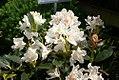 Rhododendron caucasicum x Ponticum album Cunninghams White 1zz.jpg