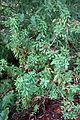 Rhododendron columbianum - Regional Parks Botanic Garden, Berkeley, CA - DSC04438.JPG