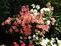 Rhododendron cv. 041.JPG