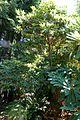 Rhododendron lacteum - VanDusen Botanical Garden - Vancouver, BC - DSC07222.jpg