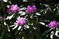 Rhododendron ponticum 4.jpg