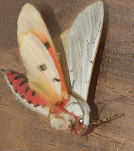 Rhodogastria amasis Female Tiger Moth disturbed showing flash coloration EOS 00643s.jpg