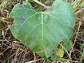 Rhoicissus tomentosa, blaar, Louwsburg.jpg