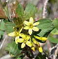 Ribes aureum var aureum 4.jpg